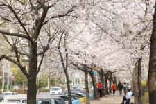 안양시,벚꽃 축제(포토)