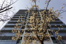 안양시 건물앞에 핀 봄 꽃(포토)