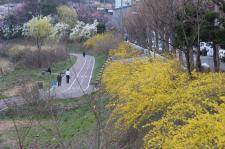 안양천변에 핀 개나리 꽃(포토)