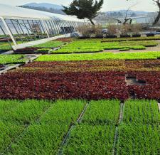 봄 식물(모종),(판매를 위해 진열된 모습)포토 사진
