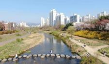 코로나19에도 봄꽃으로 물든 안양천 주변 모습(포토사진)
