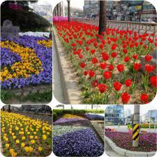 봄바람 살랑살랑~~~안양 곳곳에 봄꽃 향기 가득!!