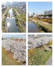 안양천에 활짝 핀 봄 꽃(포토)